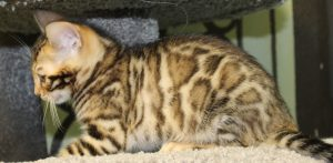 www.amazonbengals.com AmazonBengals Brown Black Spotted Bengal Kitten Male Prince Ryker