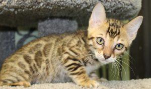 www.amazonbengals.com AmazonBengals Brown Black Spotted Bengal Kitten Female Princess Ryley