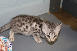 www.amazonbengals.com AmazonBengals Silver Black Spotted Bengal Kitten Prince Oliver