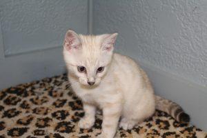 www.amazonbengals.com AmazonBengals Silver Seal Lynx Spotted Bengal Kitten Princess Ofelia