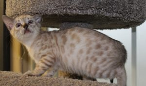 www.amazonbengals.com AmazonBengals Silver Seal Lynx Spotted Bengal Kitten Prince Otto