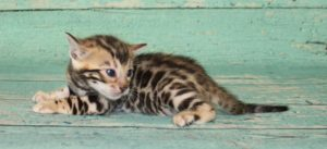 www.amazonbengals.com Brown Black Spotted Male Bengal Kitten Prince Drew
