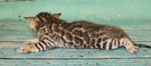 www.amazonbengals.com Brown Black Spotted Male Bengal Kitten Prince Davis