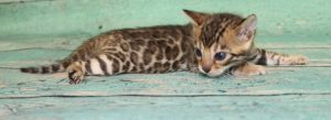 www.amazonbengals.com Brown Black Spotted Male Bengal Kitten Prince Dean