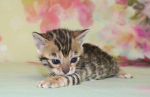 www.amazonbengals.com AmazonBengals Brown Black Spotted Female Bengal Kitten Princess Daisy