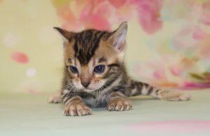 www.amazonbengals.com AmazonBengals Brown Black Spotted Female Bengal Kitten Princess Della