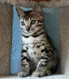 www.amazonbengals.com Brown Black Spotted Bengal Kitten male Prince Tequito